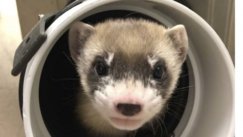 """Meet Elizabeth Ann: The Cloned Ferret"""